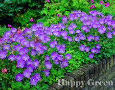 TUSSOCK BELLFLOWER BLUE - 5400 SEEDS - Campanula carpatica - PERENNIAL FLOWER
