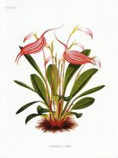 Postcard Masdevallia Lindeni Botanical Drawing c1876 Orchid MINT Unused