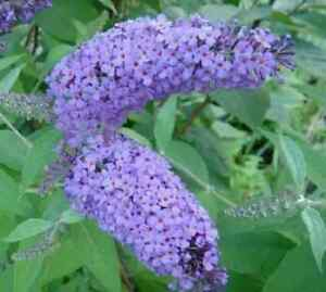 Nanho Blue Butterfly Bush ( Buddleia ) - Live Plant - 8 to 10 in. Tall
