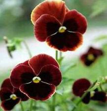 Pansy Seeds, Claret, Swiss Giant Pansies, Viola Seeds, Heirloom Flower Seed 50ct