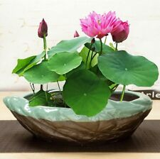 100 pcs Water Lily Plant Pond Lotus Aquatic Seeds Flower Size Bowl Pink