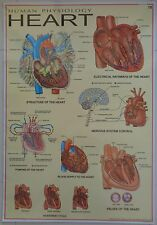 The Human Heart Laminated Licensed Poster Chart 27 x 39 Inches