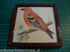 Antique framed bird print Two-barred Crossbill 1860 antieke vogelprent kruisbek
