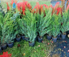 cupressociparis leylandii 80cm di prima scelta pianta da siepe a rapida crescita
