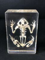 Skeleton of a Toad / Frog - Articulated - Specimen Display - Taxidermy