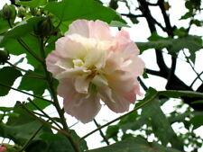 🌺 6 GRAINES DE CAPRICE DE FEMME (Hibiscus mutabilis) COTTON ROSE SEEDS SEMILLAS