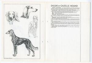 SALUKI GAZELLE HOUND 1978 BREED STANDARD SKETCH PRINT AND TEXT ARTIST M DAVIDSON