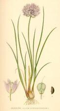 min 300 Samen Schnittlauch fein (Allium schoenoprasum)