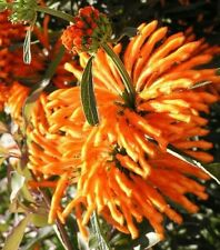 5 graines de QUEUE DE LION (Leonotis Leonurus)X113 LION 'S TAIL SEEDS SEMI SAMEN
