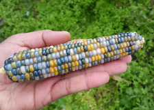 Corn Blue-Green Aura - A Rare, Stunning Multicoloured Glass Gem Corn Variety!!!