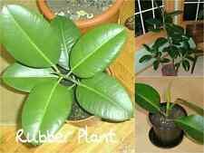 10 RUBBER Tree Seeds (Ficus Elastica) Indoor Air Filter Decoration Gift Garden