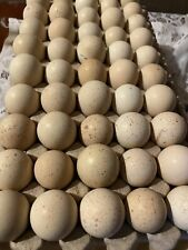50 CHUKAR PARTRIDGE HATCHING EGGS