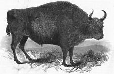 LONDON. European Bison, British Museum, antique print, 1845