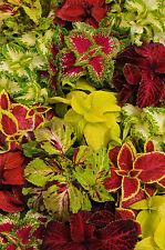 Flower seed - Coleus - Wizard® Select Mix Coleus