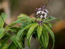 Aloysia citrodora seeds lemon verbena, beebrush, plant, herb organic seed