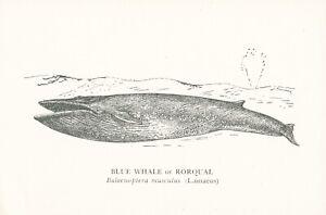 ANPC101) PC Australia, Blue Whale or Rorqual, National Museum of Australia, unus