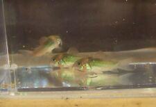 New listing Bronze Cory Catfish x 4 - Tropical Freshwater Fish