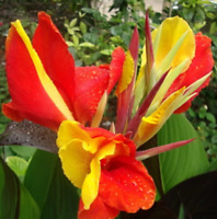 10Pcs Red Viva Rosita Zonal Geranium Flower Seeds