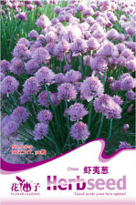 1 Pack 50 Purple Chive Seeds Ezo Onions Allium Schoenoprasum D019