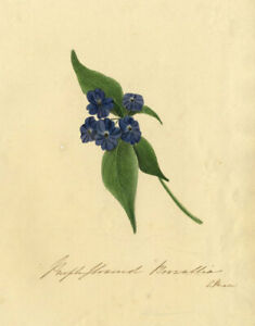 C. Riale, Purple Browallia Flower – Early 19th-century watercolour painting