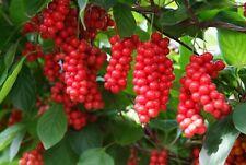 RARE 6 graines de BAIE A 5 PARFUMS (Schisandra Chinensis)G746 SEEDS SAMEN SEMI