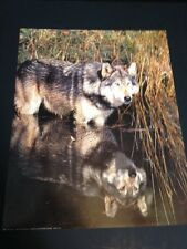 """Wolf W/ Reflextion Large 16"""" X 20"""" Picture Print New In Lithograph by Dealer"""