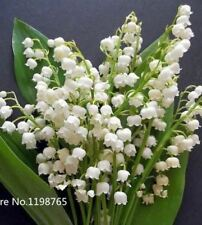 100 pcs Lily of the Valley flower seeds bell orchid rich aroma bonsai flower see