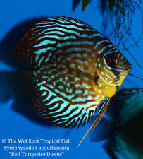 """(1) 2"""" Red Turquoise Discus TR Symphysodon aequifasciatus Live Fresh Tropical"""