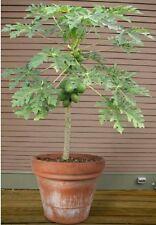 Papaya fruta árbol! comestibles, crecer su propio! planta De Interior/Bonsai semillas de rápido crecimiento