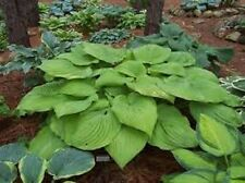 HOSTA PLANT  SUM AND SUBSTANCE 2 Year Old Plant