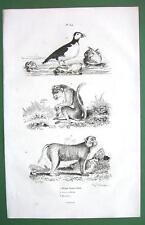 MONKEY Lion Tailed & Bandar Puffin Bird - 1836 Natural History Print