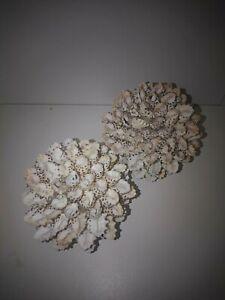 2 x drupa shell ball. Seashell decor Beach home coastal art table ornament