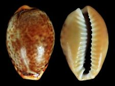 Cypraea spurca spurca - Shells from all over the World