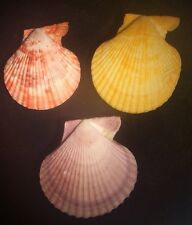 seashell SET OF 3 Mimachlamys sanguinea (3) NATURAL COLOR 65-80mm F+++