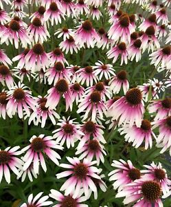 Echinacea  'Pretty Parasols'  20 Seeds  Limited In Stock