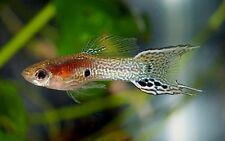 Endler Guppies 20 Mixed Fish Of All Sizes And Sexes. Old Style Auctions Always!
