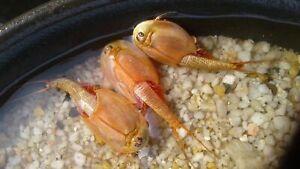 TRIOPS Red longicaudatus : (200+) high quality&pure eggs