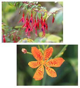 jetzt Samen kaufen und sparen: seltene Leopardenblume und märchenhafte Fuchsie !