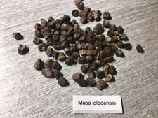 10 semi-FAIRCHILD 'S loloda Banana-Musa lolodensis