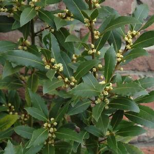 1 X LAURUS 'NOBILIS' EVERGREEN AROMATIC SHRUB BAY LAUREL TREE HARDY HERB PLANT