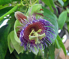 Passiflora maliformis wild purple passionfruit 10 seeds