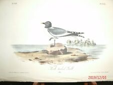 AUDUBON'S BIRDS of AMERICA - Plate 441 - FORK-TAILED GULL