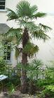 6 graines PALMIER DE CHINE RUSTIQUE(Trachycarpus Fortunei)G36 CHUSAN PALM SEEDS