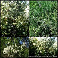 8 Swamp Paperbark Melaleuca ericifolia Native Hedge Hardy Trees Flowering Plant