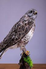 Taxidermy real Rough-legged Hawk Stuffed Bird Animal Hunting Handmade Life size