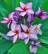 Hosta full sun perennial flowers plants for sale ebay plumeria full sun perennial flowers plants mightylinksfo
