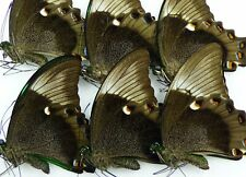Papilio daedalus daedalus 10 x UP