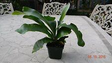 """Platycerium biforcatum Staghorn Fern Plant 4"""" Pot"""