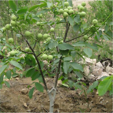 Nutrition Fruit Pecan Seed Walnut Tree Organic Bonsai Home Plant 1 Seeds / Pack