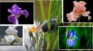 10 Teichpflanzen  WASSERREINIGEND u BLÜHEND  Sumpfiris winterhart Set Sortiment